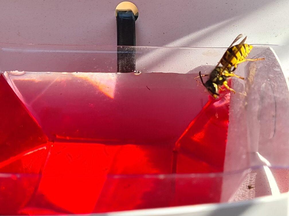 European Wasp Queen feeding on Sundew Vespex Wasp Lure